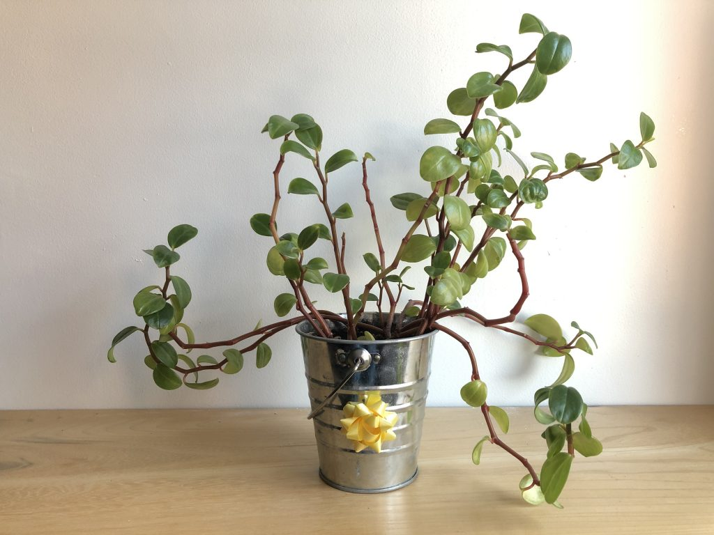 plant in a small silver plot with a bow on it