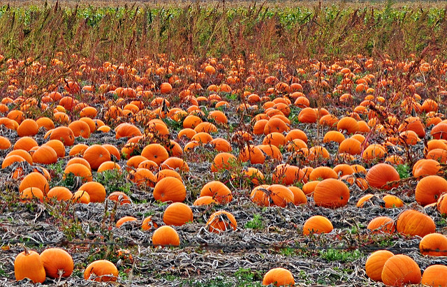 Image of pumpkin patch full of ripe pumpkins.