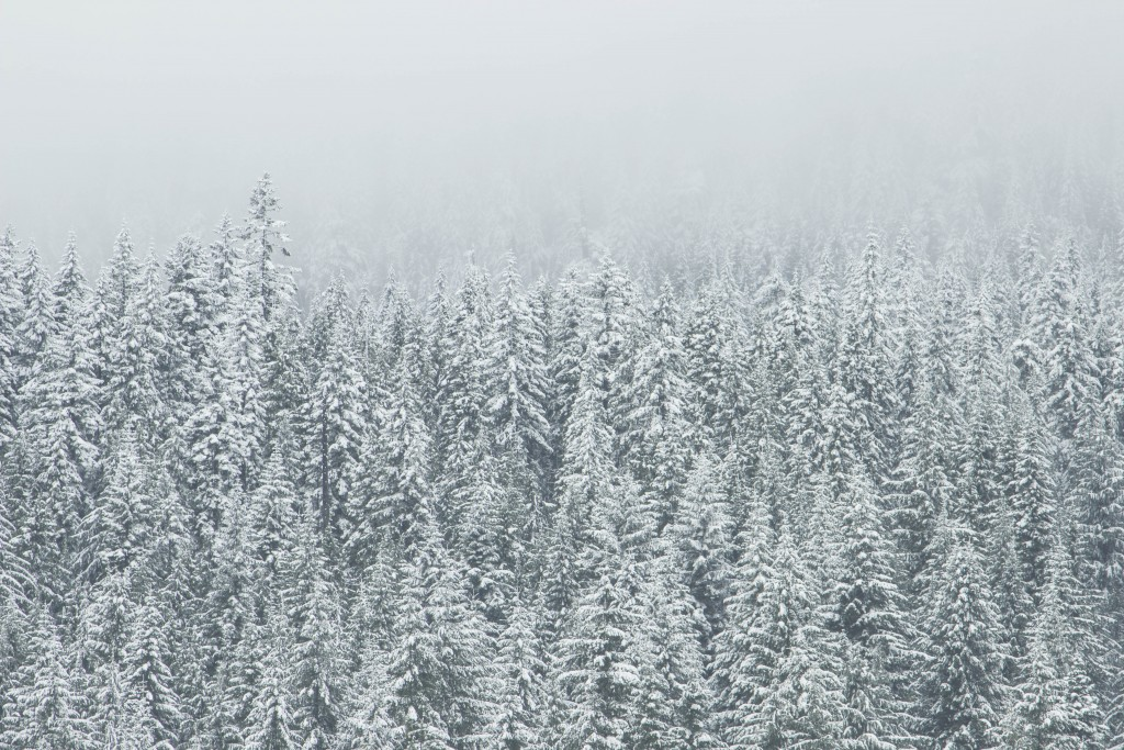 Forest of evergreens coated in snow