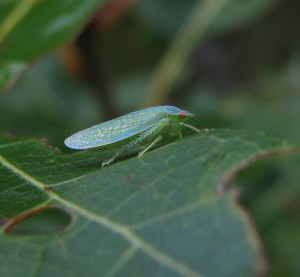 Leafhopper, Gyponana.
