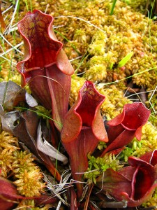 Northern pitcher plant, Sarracenia purpurea.