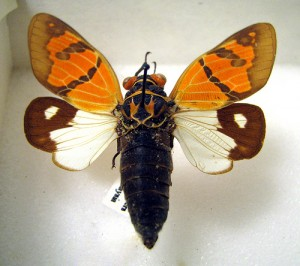 Cicada.