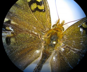 Lepidoptera under a Dissecting Microscope.