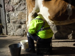 A cow being milked!