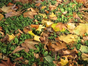 Brown and golden maple leaves lying on the lively green grass of Queen's Park