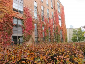 Red, orange, and green vines climbing up the wall of a Victoria College residence