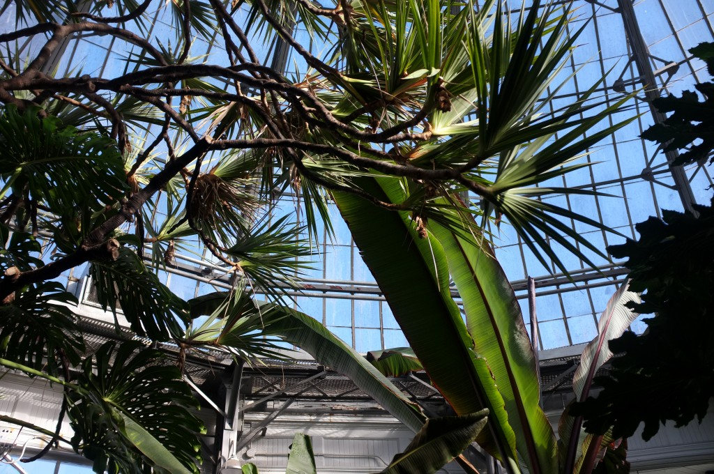 looking up at the domes roof of a greenhouse through the branches of tropical plants and big palm fronds.