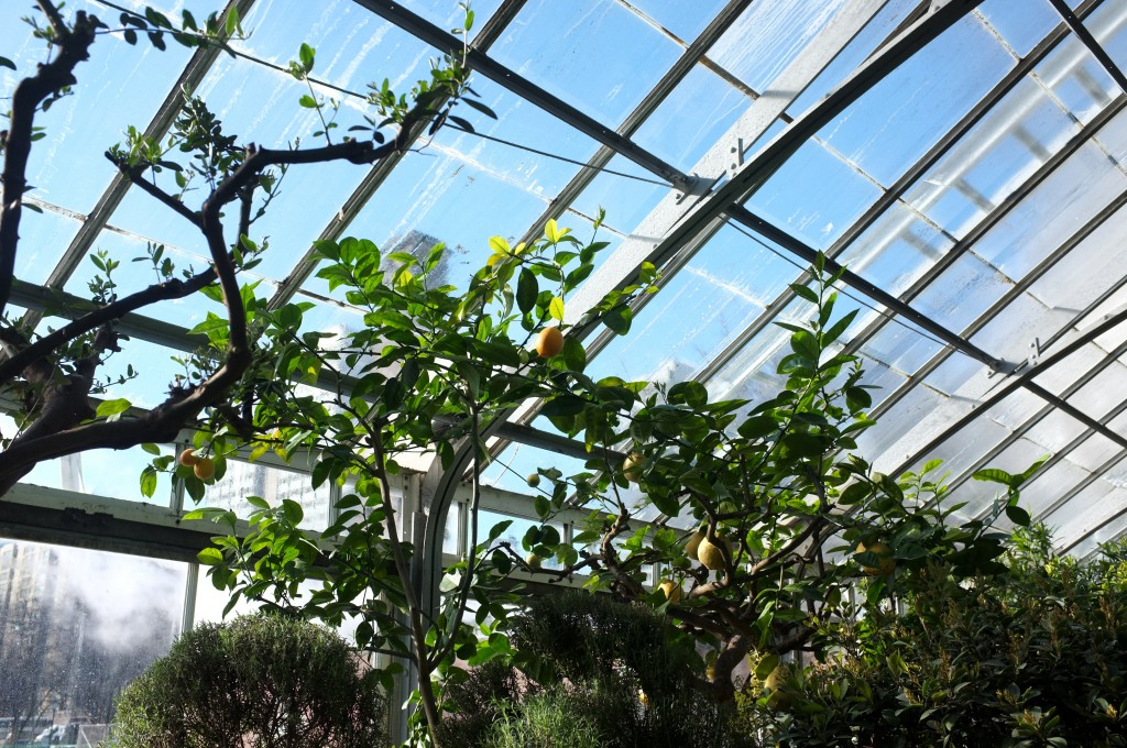 orange fruits hangs from bright green branches in front of a blue sky seen through the glass roof.