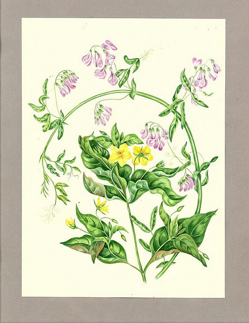 Flowers for spring: Lysimachia quadrifolia by Agnes Chamberlain. via Thomas Fisher Rare Book Library. Some of their special collections are available on Flickr!