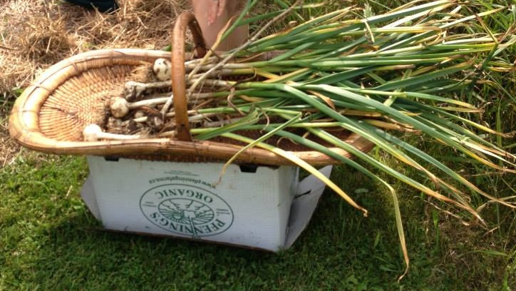 Garlic, freshly harvested at Bela Farm, Shoresh's rural farm located an hour outside of Toronto. Hint: service learning does (always) have to do with garlic. But in my case, it did, and this is some that I helped harvest! Photo courtesy of Shoresh.