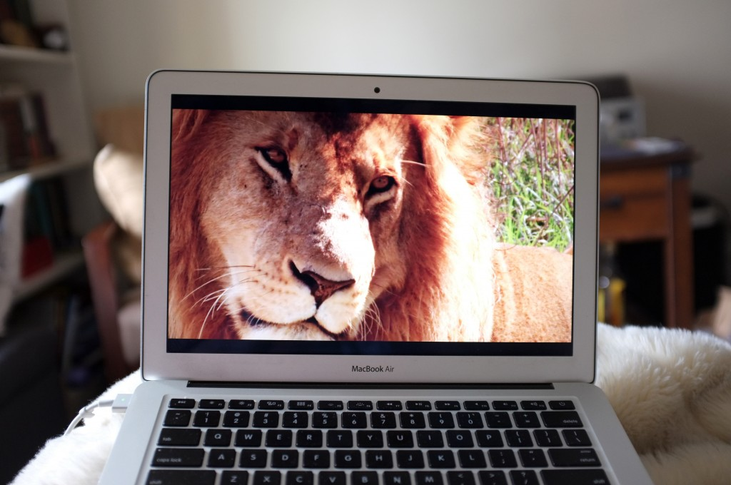 a laptop showing a full screen image of a lion's face