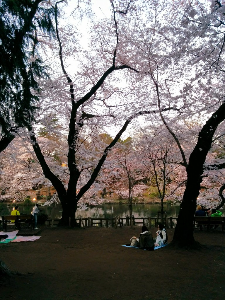 This image shows two people sitting on a  blue tarp under cherry blossoms.