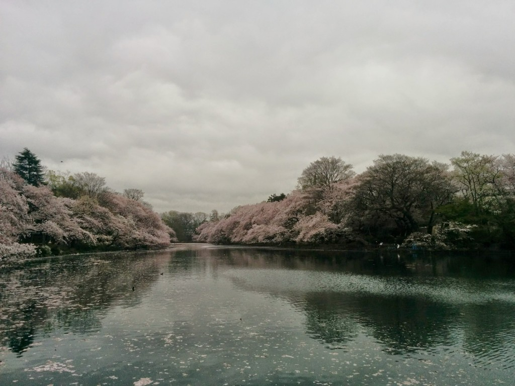 This image shows  view of a lake. It is surrounded by trees blooming with cherry blossoms. The sky is grey