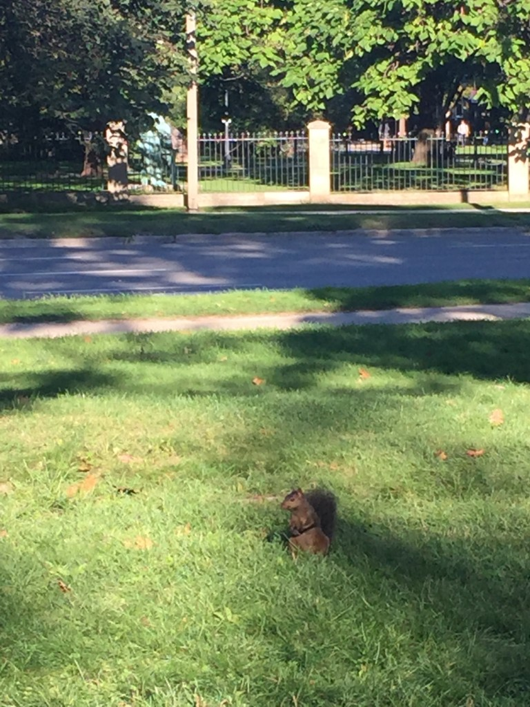 A picture of a squirrel on the grass in Queen's Park, on its hind legs, with the sidewalk and street in the background.