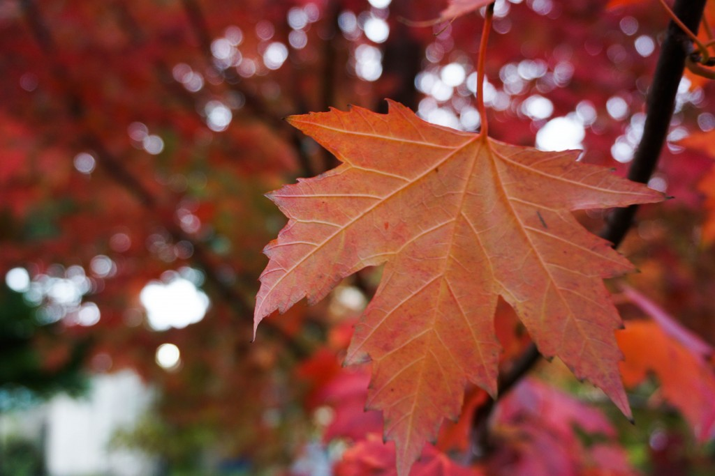 photo of a leaf on a maple tree