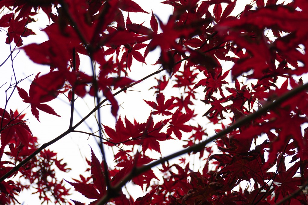 photo of the leaves of a japanese maple tree against the sky