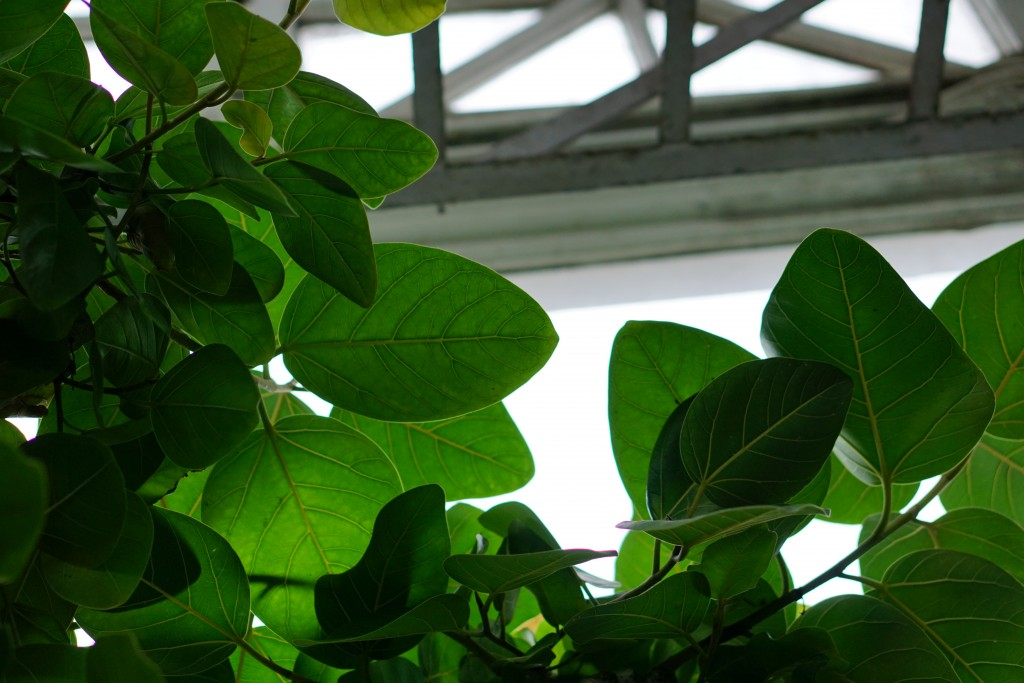 large round leaves against a glass ceiling