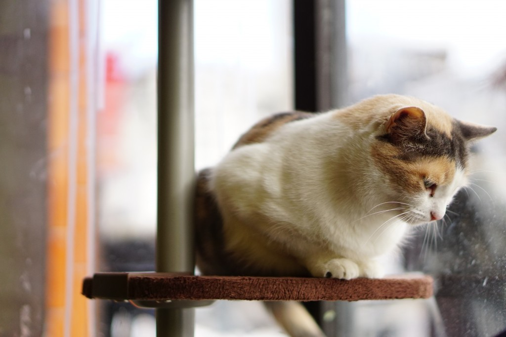calico cat by window