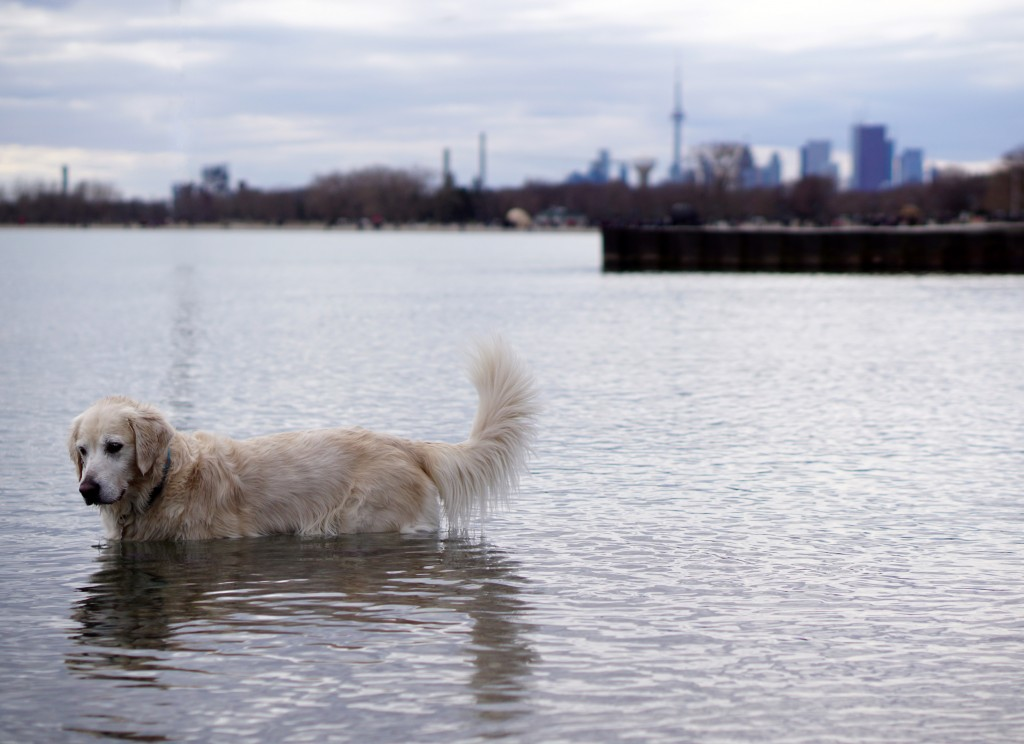 dog in the lake with the toronto skyline behind it