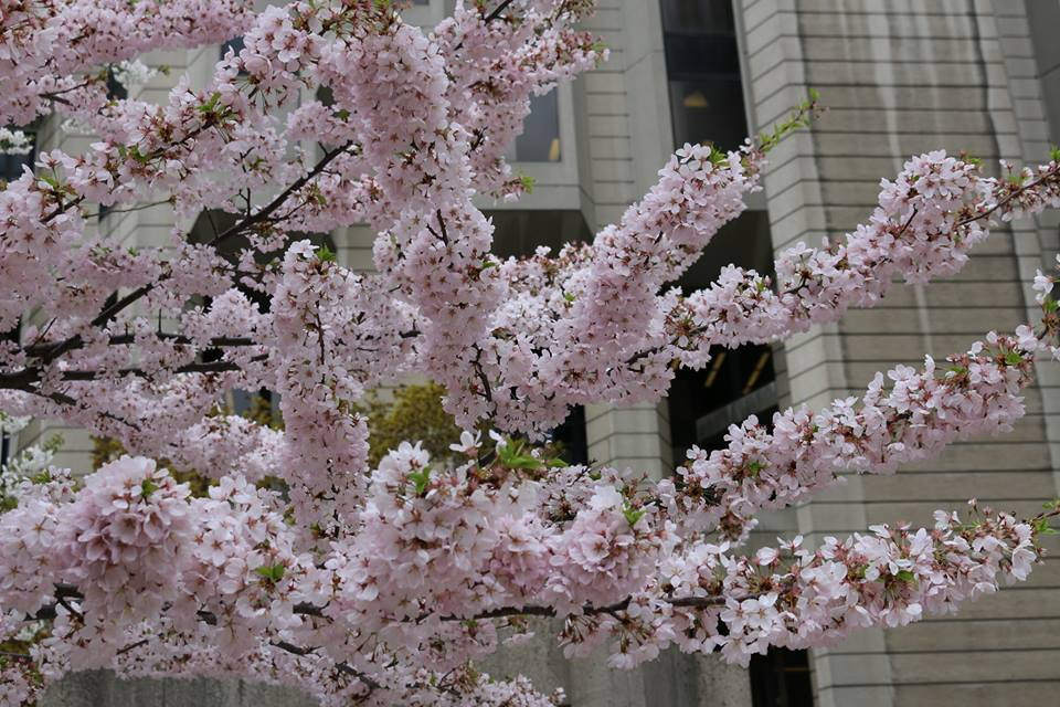 A close up of several branches covered in pink cherry blossoms.