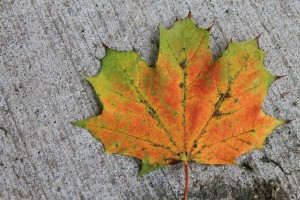 A maple leaf has turned mostly orange in colour and is on the pavement
