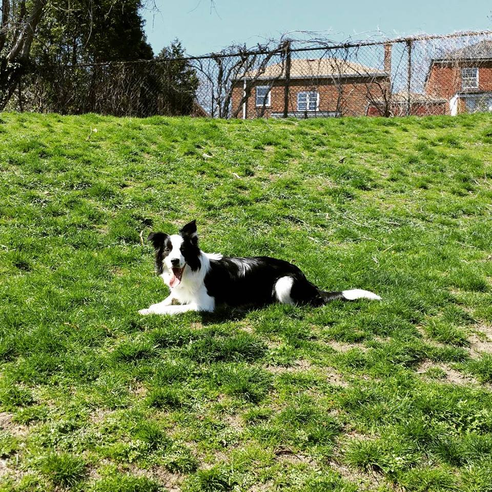 Border collie on lawn