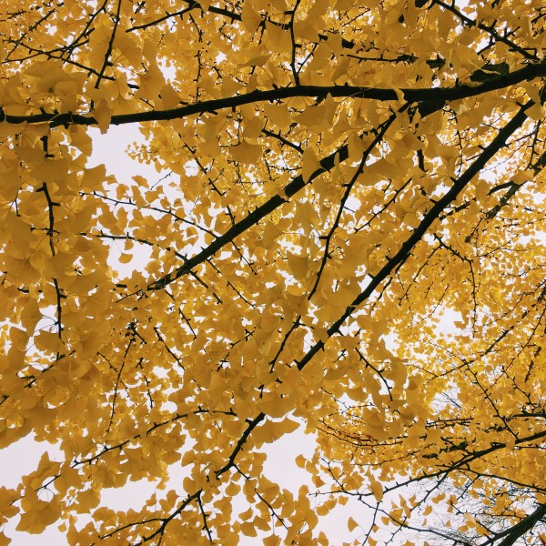 The branches of a yellow tree against a cloudy sky