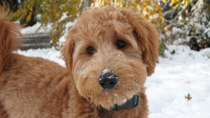 Picture of goldendoodle dog