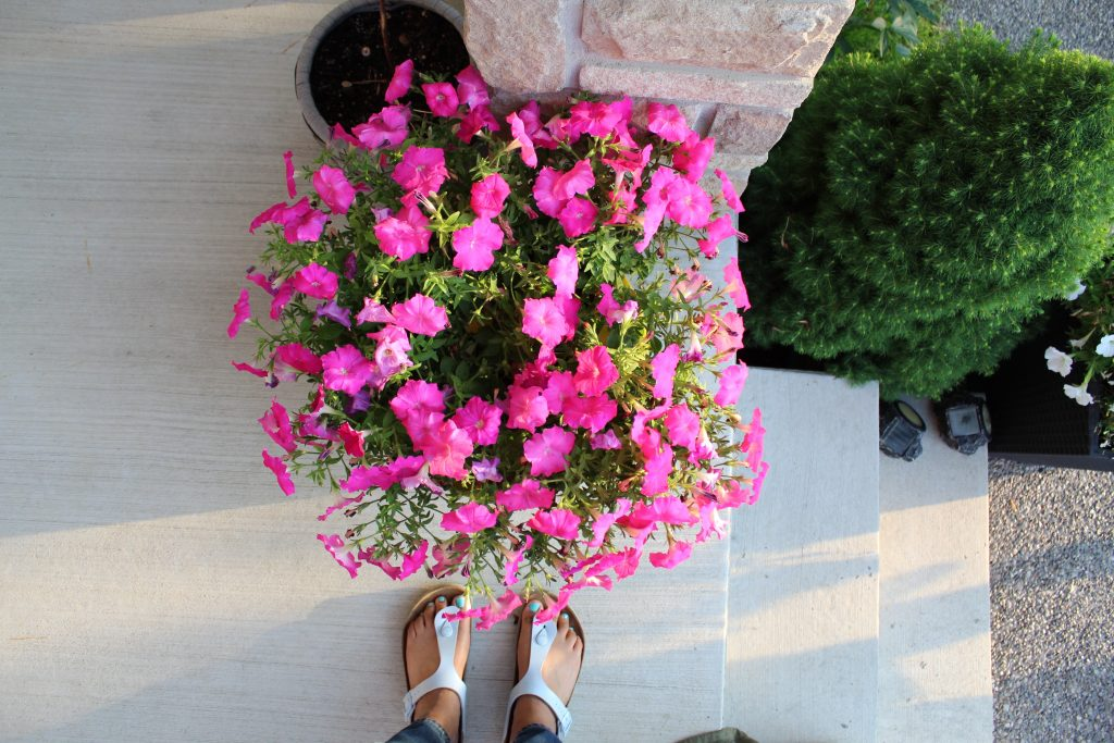 an aerial image of a round plant of pink flowers with the feet of the photographer peeking in at the bottom of the image.