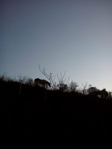 Photograph: high contrast, dark ridge of a mountain with two horses grazing on it in outline, lighter gray/blue sky in background