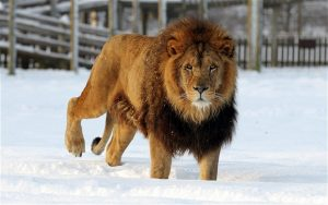 lion walking in snow