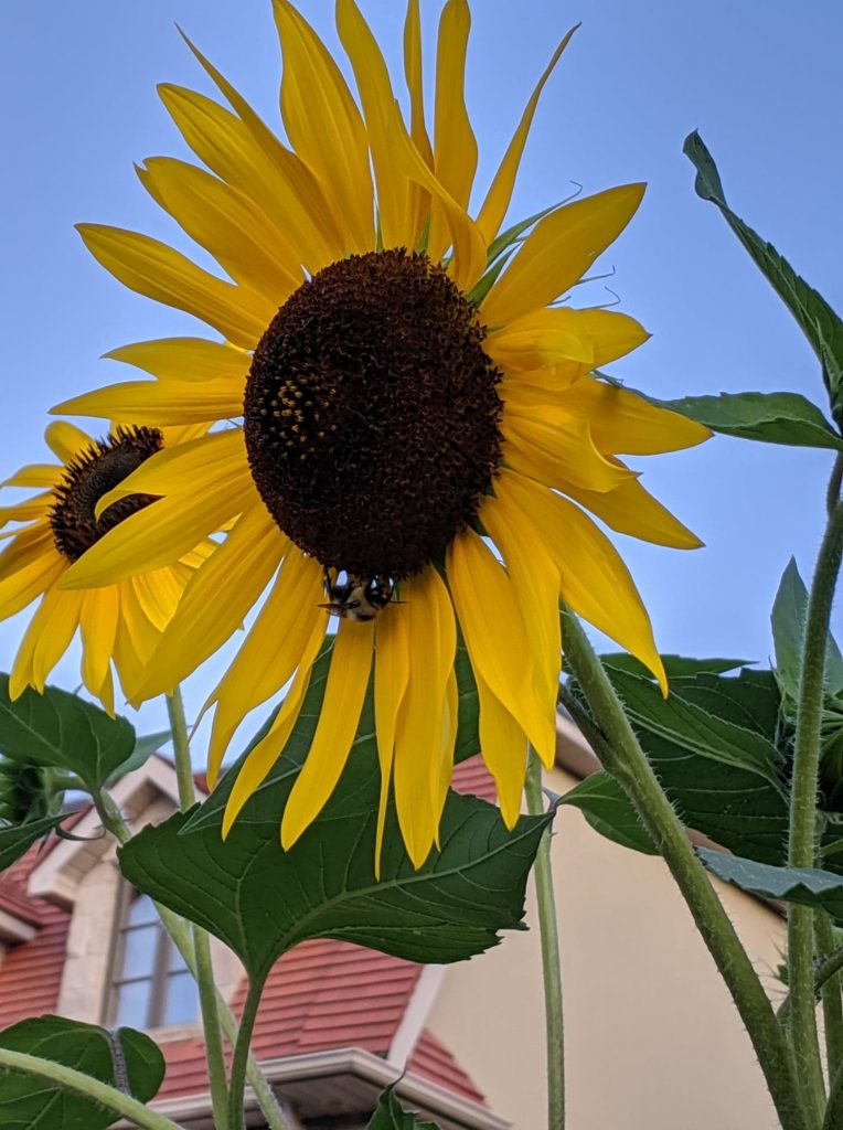 Large sunflower with bumblebee on it