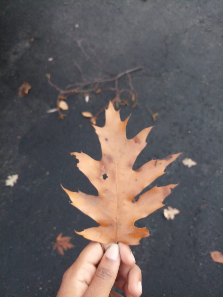I hold up a dried leaf that I picked up off the ground, which is covered with dried leaves.