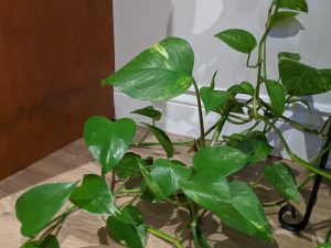 vine plant with large leafs in corner of room