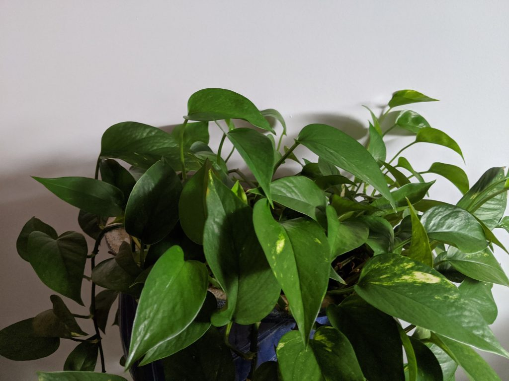green vine plant with plain background