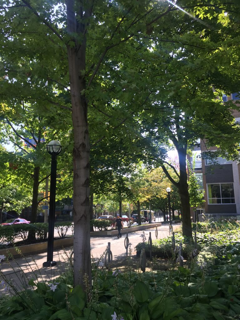 A picture of trees on the UofT campus.