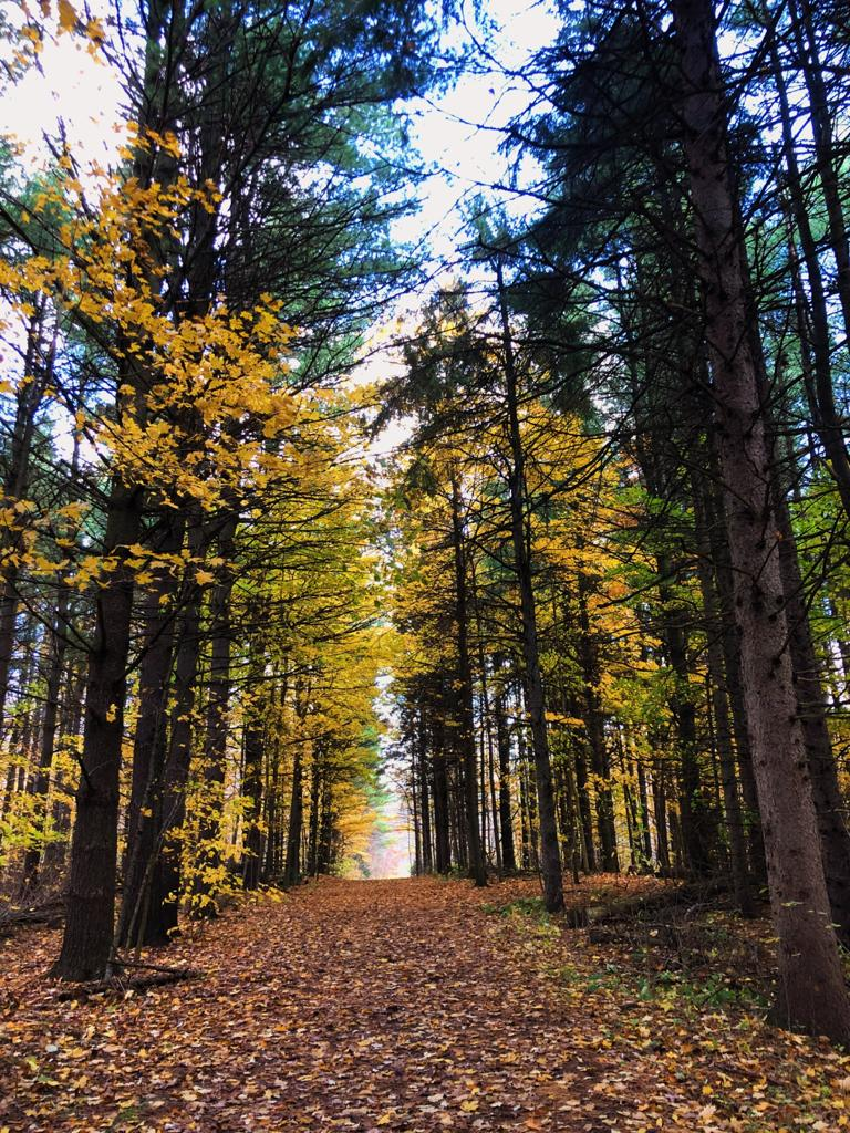 A picture of the Hilton Falls Forest in Milton, showcasing spruce trees with gold and green coloured leaves.