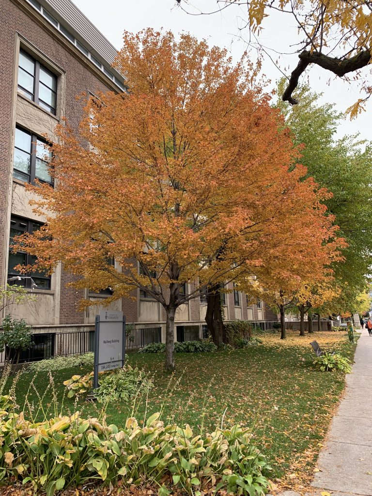 a fall-colored tree on the U of T