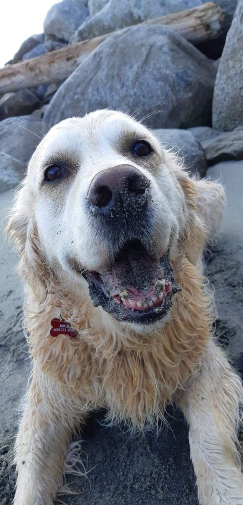 A picture of a golden retriever sitting in the sand with sand in his mouth