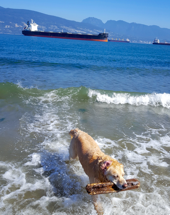 A picture of a golden retriever in the ocean with a stick in his mouth