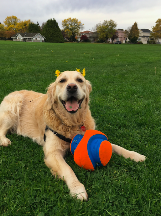 A picture of a dog sitting in a field with a ball and flowers on his head
