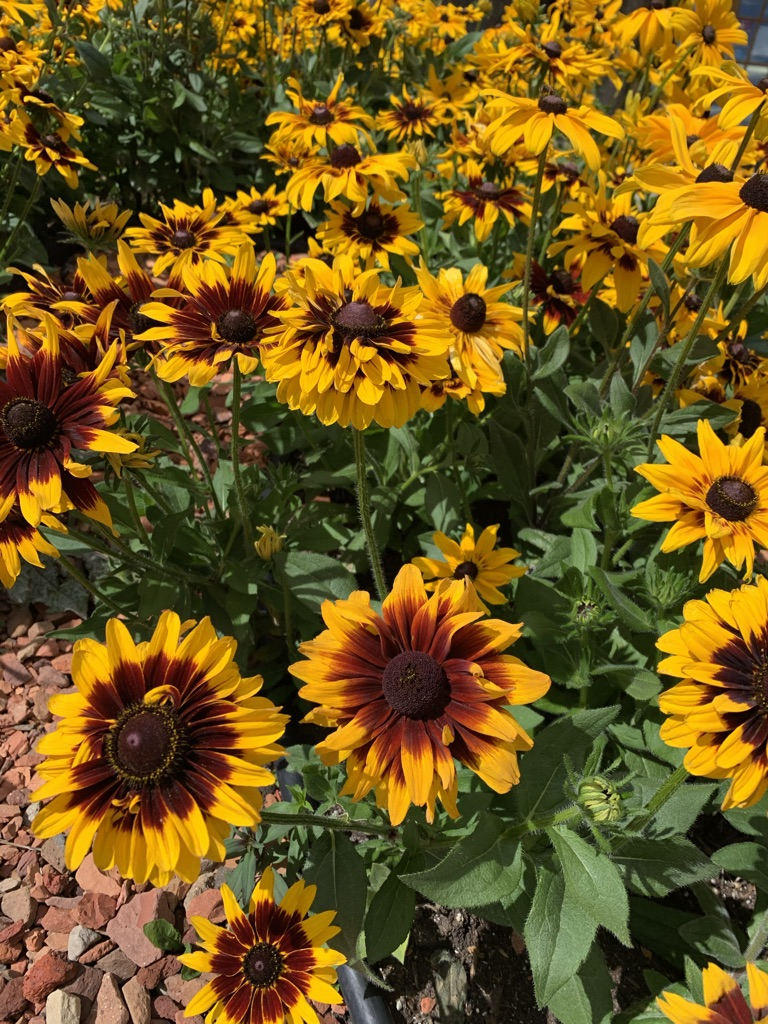 hundreds of blooming sunflowers on a sunflower bed