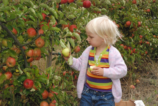 Image of child in striped t-shirt picking apples in orchard.