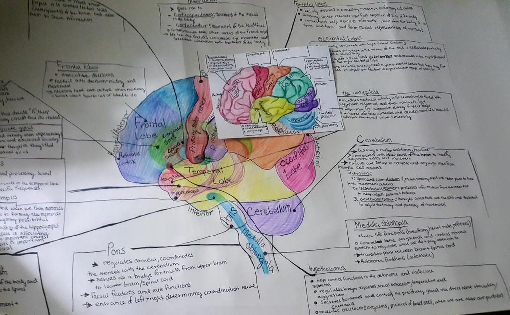 a drawing of the human brain with labels of each lobe and its functions