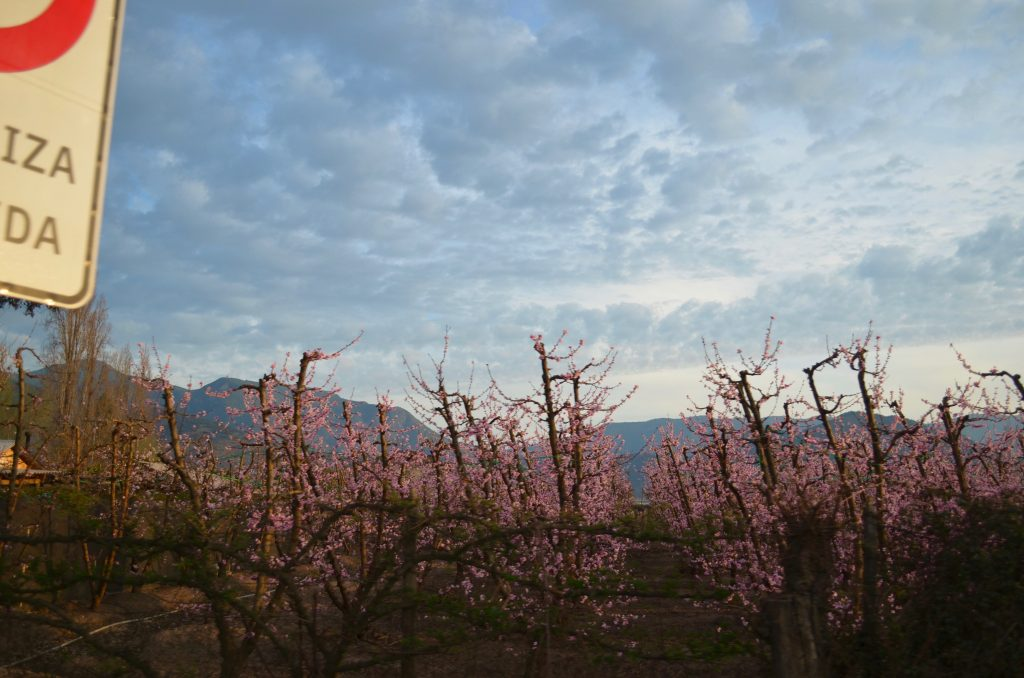 field of peach trees in bloom with pink flowers
