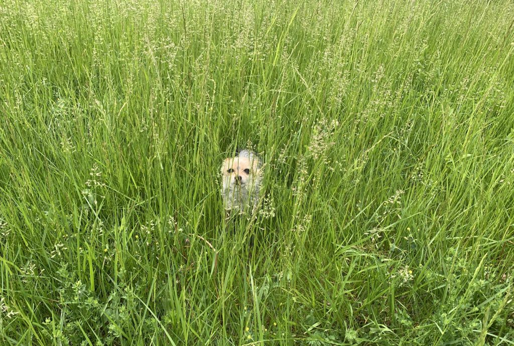 A yorkshire terrier hiding behind tall grass